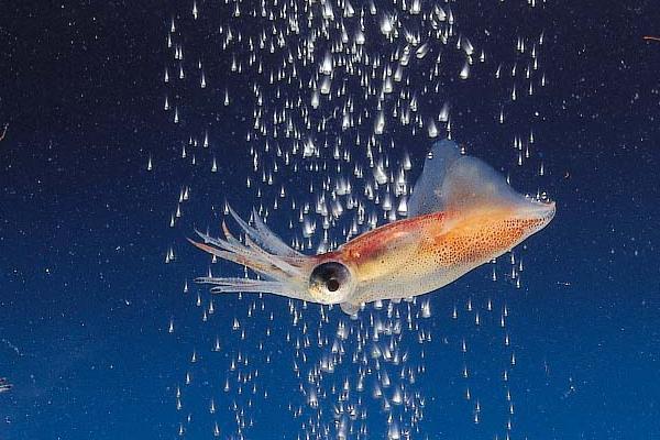 ホタルイカは低カロリーで高タウリンで疲れを癒やす健康食材☆のサムネイル画像