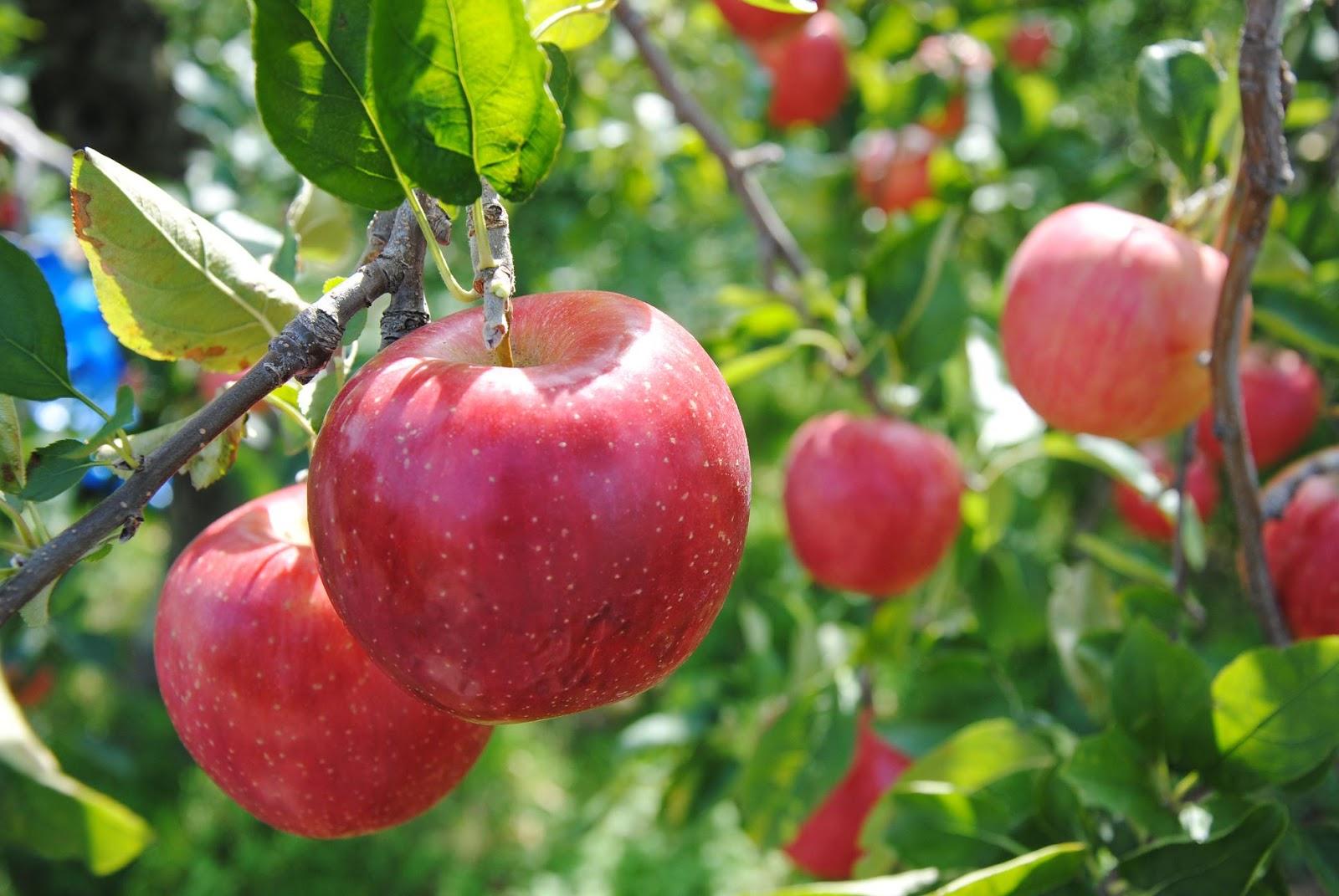本当に効果があるの?詳しく知りたい!りんごダイエットのあれこれ♪のサムネイル画像
