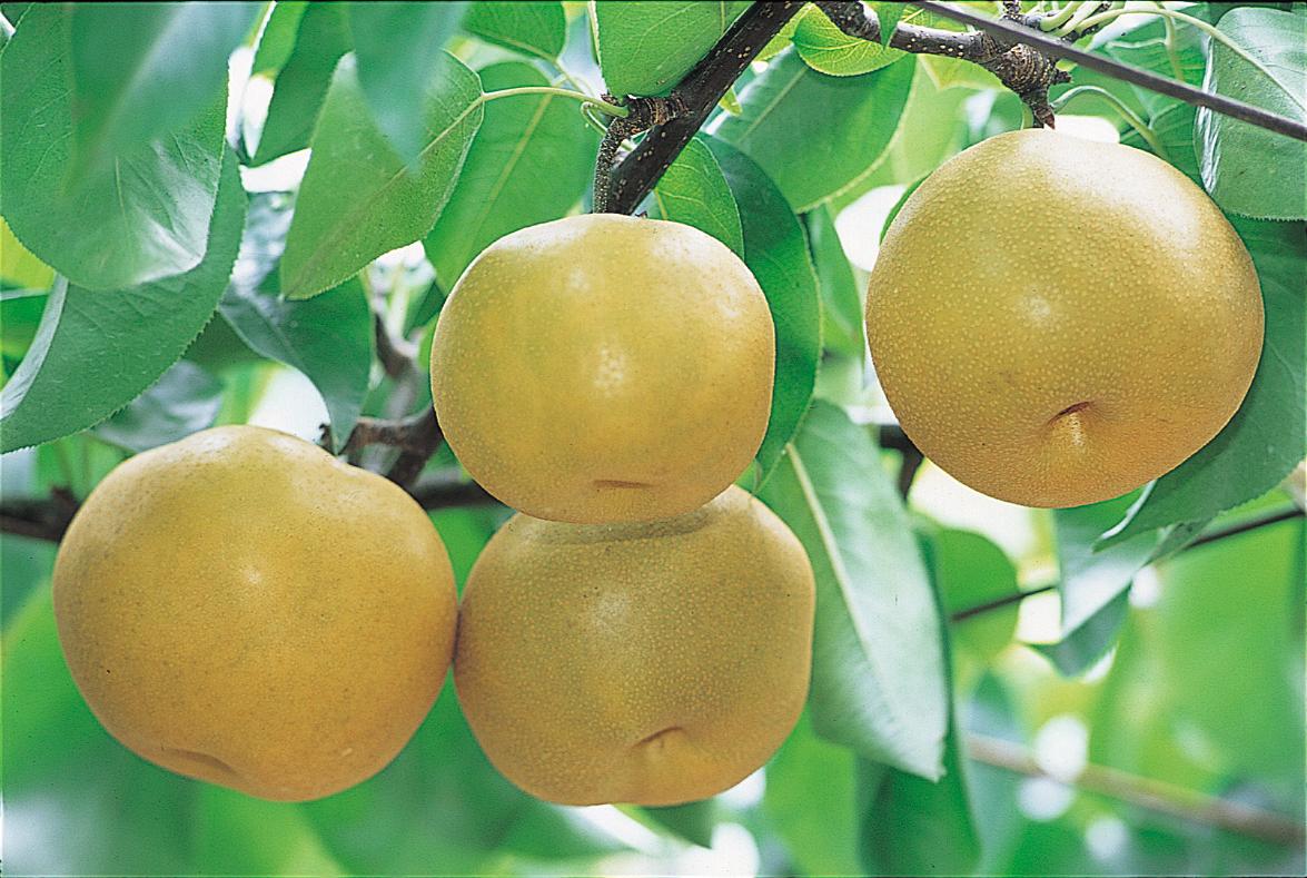 え?そんなに栄養があるの?梨のカロリーと栄養効果を徹底分析!のサムネイル画像