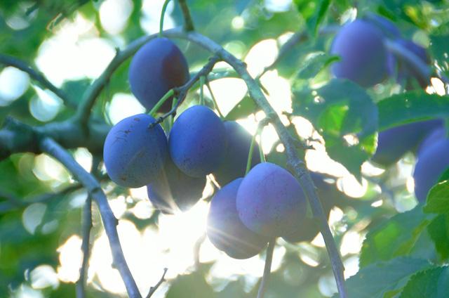 プルーンの栄養のことを知って健康で美しいからだを手に入れましょうのサムネイル画像