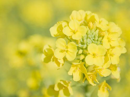 待ち遠しい~春を感じる野菜の代表!菜の花の栄養と体にいい効果♪のサムネイル画像