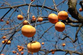柿は美味しいからといって食べ過ぎると特にお通じの方で悪影響がのサムネイル画像