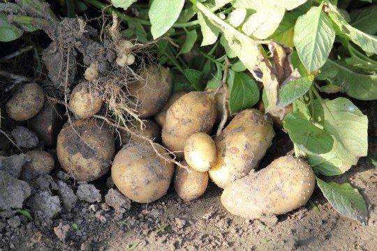 ジャガイモのカロリーは?実はすごいジャガイモの力&レシピまとめのサムネイル画像