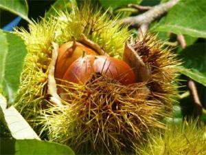 秋の味覚には欠かせない『栗』 気になる栗のカロリーをご紹介!の画像